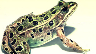 image: New Frog Species in NYC?