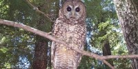 image: Opinion: Saving an Owl from Politics