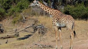 image: Spotting a Giraffe's Age