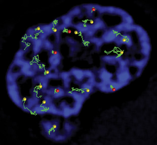 TRACKING mRNA: The green lines show individual mRNA molecules labeled with molecular beacons moving around the chromatin (blue) within a mammalian cell nucleus. Red dots show dense locations where mRNA cannot move freely; yellow dots show more open spaces within the chromatin.