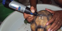 A plougshare tortoise being marked to discourage would-be captorsDurrell Wildlife Conservation Trust
