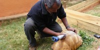 Ernest Bekarani, manager of Durrell's ploughshare captive breeding centre at Ampijoroa is marking a ploughshare tortoise  to discourage would-be captorsDurrell Wildlife Conservation Trust