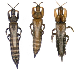 Three thrips: Kladothrips intermedius worker on the left, K. intermedius soldier in the middle, and Koptothrips dyskritus invader on the right.