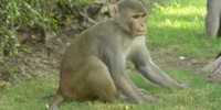 image: Social Rank Affects Monkey Immunity