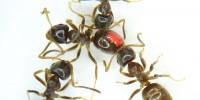 image: Ants Share Pathogens for Immunity