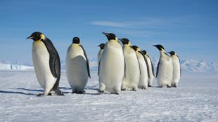 image: Spotted: Emperor Penguins