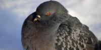 image: Pigeon GPS Identified