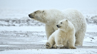 image: Polar Bear More Ancient Than Realized