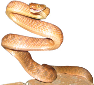 FOREIGN INVADER: A brown tree snake, Boiga irregularis