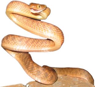 FOREIGN INVADER: A brown tree snake, Boiga irregularis