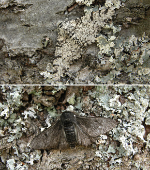 MOTHS ON TREES: Majerus confirmed that wild moths (typica above and carbonaria below) did indeed rest on tree trunks.