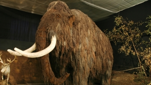 image: Dwarf Mammoth Once Roamed Crete