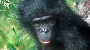 Ulindi, the female bonobo from Zoo Leipzig who had her genome sequenced