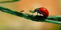 image: GM Crops Offer Natural Pest Control