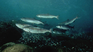 image: Genetic Shift in Salmon