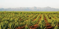 PLANTS FOR ARID LANDS: Agave species are native to hot, dry regions and employ a type of photosynthesis called Crassulacean acid metabolism, during which less water is transpired.6 times greater water-use efficiency of Agave plants, compared to C3 species, such as wheat.
