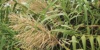 MORE EFFICIENT PLANTS: Perennial grasses, such as Miscanthus, mobilize mineral nutrients and carbohydrates from the stem and leaves to rhizomes at the end of the growing season, and thus require less fertilizer and grow more rapidly in the spring, resulting in a high biomass yield.60 percent  Increase in biomass yield from unfertilized Miscanthus in central Illinois, compared to well-fertilized maize.Stephen Long, University of Illinois