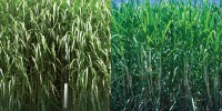 PLANTS WITH EXTENDED GROWTH RANGE: Miscane is a hybrid of Miscanthus and sugarcane that can survive cold winters, allowing the plants to be grown in northern climates that would normally be inhospitable to other crops.1 million acres: Land area on which sugarcane is currently grown in the southern U.S. Development of cold-tolerant hybrids could allow substantial expansion northward.Stephen Long, University of Illinois