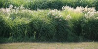 PLANTS RESISTANT TO PARASITES: Because energy crops such as switchgrass and Miscanthus are replanted only every 10 years or so, the best strategy for protecting the plants against parasites could be to mix species in a way that maximizes genetic diversity for resistance traits.30 percent: Proportion of crops killed worldwide each year by pests and pathogens.South Research Farm of the University of Illinois/Professor Praveen Kumar, Department of Civil and Environmental Engineering