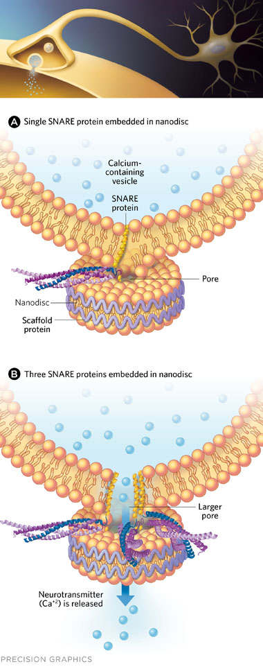 FUSION FACSIMILE: To investigate membrane fusion during synaptic transmission (top), Rothman, Pincet, and colleagues designed an artificial version of the event. They exposed lipid nanodiscs embedded with SNARE proteins to vesicles containing complementary SNARE proteins. Only one SNARE protein complex was required for fusion between the discs and vesicles (A), but three were necessary to create a stable pore to release the neurotransmitter contained within the vesicle (B).