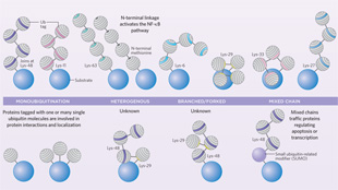 Infographic: Ubiquitin Basics View full size JPG | PDF