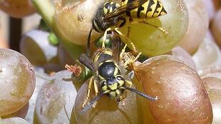 image: Yeast's Wasp Winter Retreat