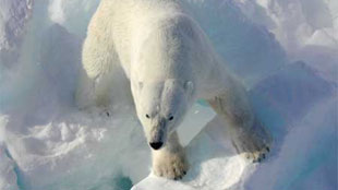 image: The Polar Bear's Prehistoric Past