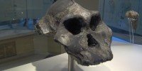 "1985: The Black Skull (Australopithecus aethiopicus) Dating nearly 2.5 million years, the complete skull of Australopithecus aethiopicus belongs to perhaps the earliest of the robust australopithecines—an Australopithecus branch characterized by large skulls, wide and flaring cheek bones, and very large molars (see Australopithecus boisei). The fossil was nicknamed ""Black Skull"" because of it was stained black by the manganese-rich soils of the Lake Turkana region of Ethiopia, were it was found."