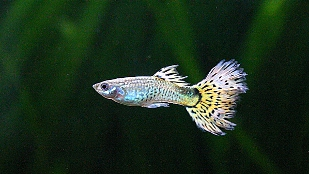 image: Small-Brained Fish Make More Babies