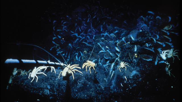 WHAT LIES BENEATH: This photograph of a community of galatheid crabs, perched atop pillow lava and a dense field of mussels, was taken by oceanographer Robert Hessler of the Scripps Institution of Oceanography during a 1979 expedition to the Galápagos Rift. The expedition afforded biologists their first look at hydrothermal vent ecosystems.Woods Hole Oceanographic Institution