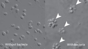 image: Bacteria Breed Multicellularity?