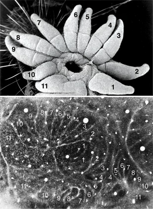 STAR MAPS: When the star-nosed mole's brain is properly sectioned and stained, three distinct star maps are visible. Each map contains two halves, one in each hemisphere of the brain, and each half-star map contains a series of dark stripes that represent the nasal rays of the opposite side of the star.