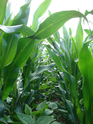 A field of corn (taller plants) and soybean is sown in order to get alternating rows of each crop and improve the interactions between plants. Soybean provides nitrogen to the soil and corn provides organic material.
