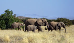 SONIC BOOMERS: African elephants, like these photographed in Namibia, are well known for their ability to communicate over long distances using seismic sensing.