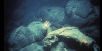 A reddish octocoral and brittle star are suspended over pillow shaped lava Woods Hole Oceanographic Institution Archives