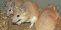 image: Regenerating Rodent