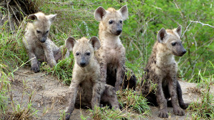 Spotted hyena cubs