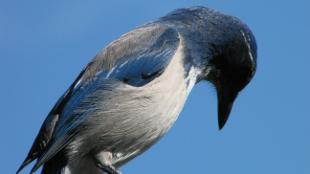 A Western Scrub Jay