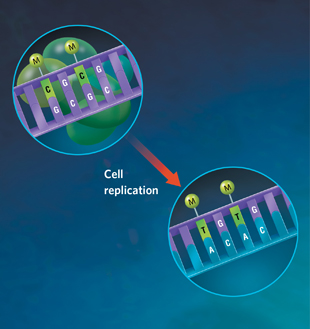 DIRECTING EVOLUTION: Epigenetic modification most often occurs on cytosines (C) that are followed by a guanine (G) (top). These methylated cytosines are more likely to undergo a chemical reaction that converts the C into a thymine (T), permanently changing the genetic sequence. When that altered sequence is replicated during cell division, the newly generated matching strand will copy this altered sequence (bottom), giving the next generation a slightly altered genomic manuscript. This new manuscript could alter the structure of the encoded protein, or change the mRNA homology sequence for lncRNA binding, rendering the lncRNA unable to bind and suppress that gene, thus allowing the altered sequence to be transcribed again. View full size JPG | PDF
