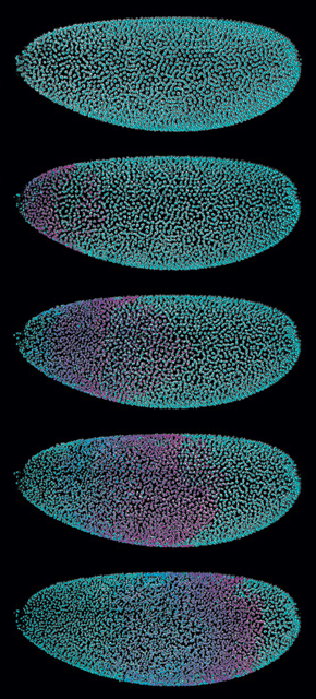 WAVES OF DIVISION: SiMView light-sheet microscopy tracks the nucleus of each cell (teal) of a Drosophila embryo as they divide in a wave across one mitotic cycle in the blastoderm (purple overlay).