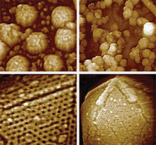 Clockwise from top left (all images taken using AFM):• MuLV (murine leukemia virus) budding from the surface of an infected mouse embryo fibroblast cell• HIV virions budding from the surface of an infected human lymphocyte• The 20-sided icosahedral capsid of the giant mimivirus, showing the unique structure known as a stargate, which sits atop one icosahedral vertex.• High magnification of a facet edge of a mimivirus capsid
